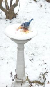 Our holy water font (i.e birdbath) with Blue Jay enjoying my gleenings