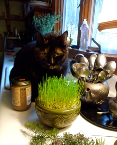 In the winter, I grow wheatgrass for the cats to munch on but this pot was grown as a gift...Eleanor had other ideas, so