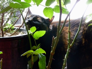 Eleanor on the radiator (with her head resting on the rosemary plant)
