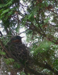 A robin has built her nest about 5 feet from my window
