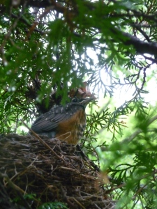 time to fly...the fourth (and last) baby robin left the nest this morning.