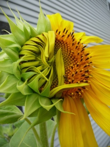 Jack's photo of sunflower outside his shop